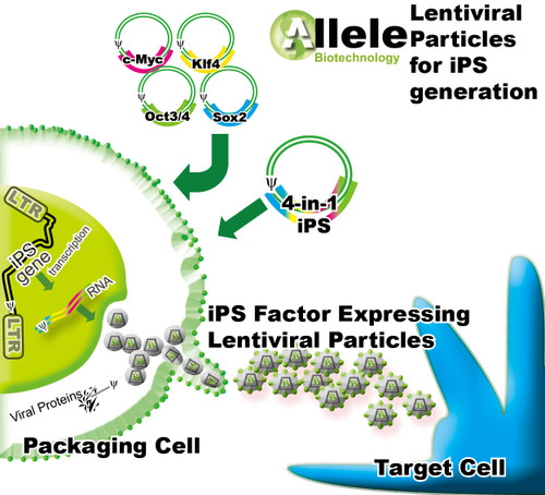 4-In-1 Lentiviral Particles for iPSCs Generation: Human OSKM