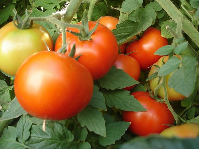 tomato-01.jpg