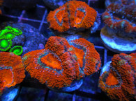 Ultra Acan Lord 5 Pack