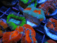 10 Pack Ultra Acan Lords