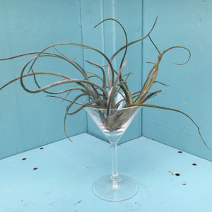 Tillandsia (large)