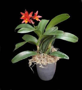 "Lc Rojo ""Happy Valentine"": This orchid, with it's lush dark green leaves, has bright red buds opening up just in time for Valentines Day, and what an appropriate name! Price includes a box of Hawaiian Macadamia Nut Chocolates"