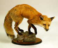 Taxidermy of a Red Fox