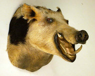 Wild Boar Taxidermy Head Mount