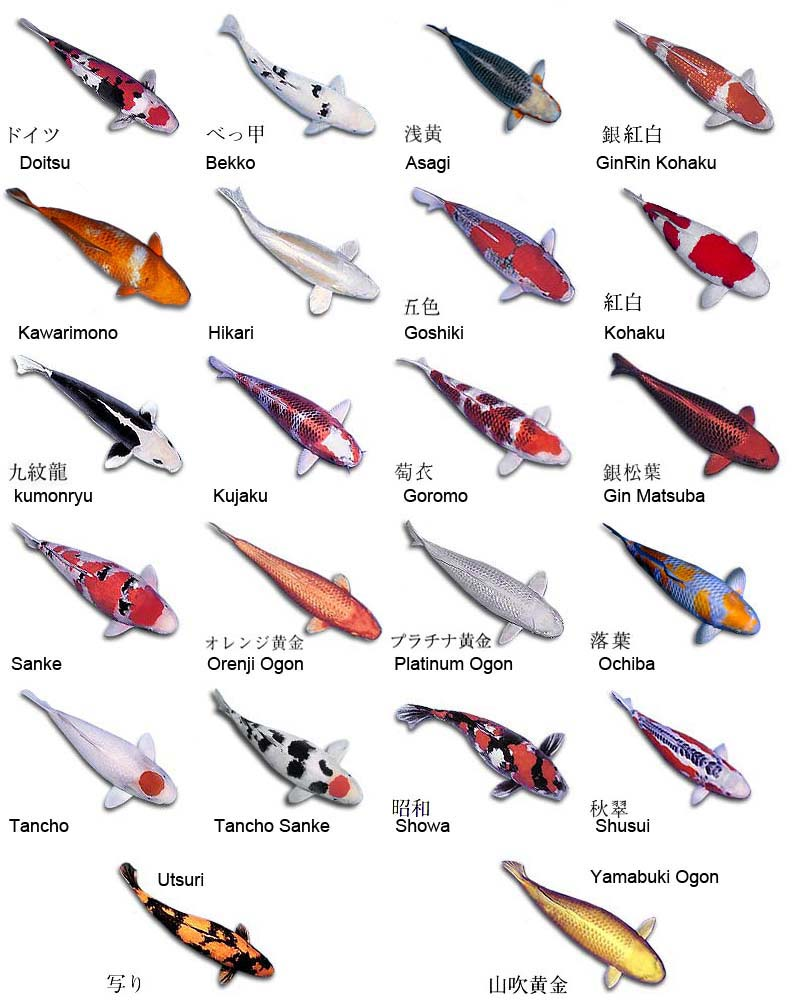 Types of koi for Koi fish price guide