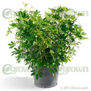 Green Arboricola from cGrown Nursery by Greg Davenport.  Schefflera arboricola, aka Dwarf Schefflera is an evergreen shrub with dark green, glossy, leaves densely covering stems which fan out into a crown.