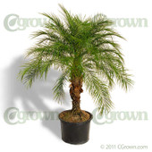 Pygmy Date Palm from cGrown Nursery by Greg Davenport.  Phoenix roebelenii is a species of miniature date palm. Pygmy Date Palm: a slow-growing slender tree 6-10 feet tall, liking partial shade to full sun.