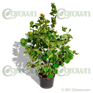 Sea Grape from cGrown Nursery by Greg Davenport.  Coccoloba uvifera is a flowering plant in the buckwheat family native to coastal beaches. Other common names include Seagrape and Baygrape.