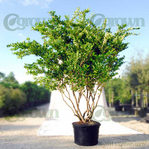 Ligustrum from cGrown Nursery by Greg Davenport.  Ligustrum ovalifolium (Japanese privet) is frequently used as privacy hedging. This evergreen shrub is related to the olive and has many varieties in China.