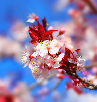 Cherry Blossoms Dating