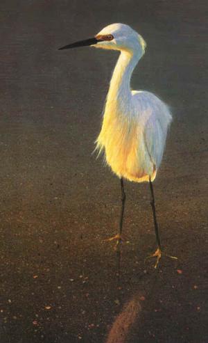 Snowy Egret bird print.