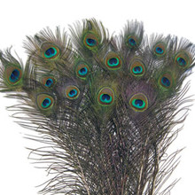 200 Large Eye Peacock Tails Natural Feathers 30-35""