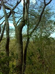 cocobolo-tree.jpg