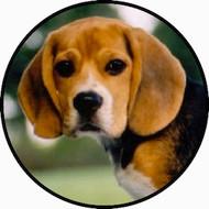Beagle Face BR