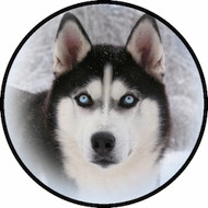 Siberian Husky BR