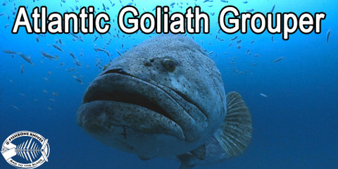 Best Knives to Fillet Atlantic Goliath Grouper