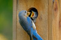 bluebirdbaby.jpg