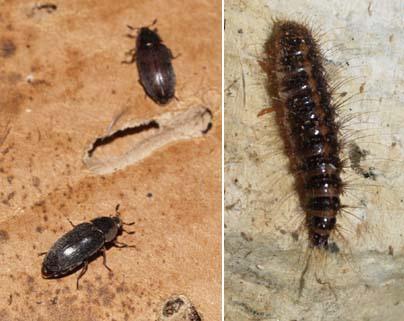 dermestid-beetle-larvae.jpg