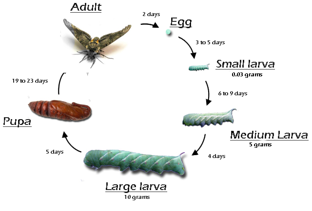 hornworm-lifecycle3.jpg