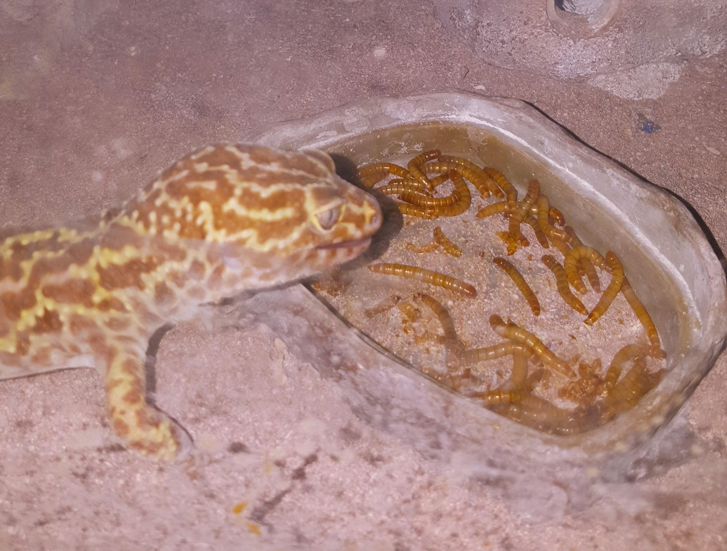 oliver-jackson-gecko.jpg