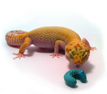 Has your gecko ever tried a hornworm?