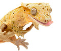 Crested geckos need a wide variety of foods, MRP is the very best staple diet we've found