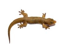 Feeder Geckos