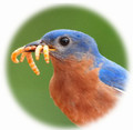 Live Mealworms for Wild Birds