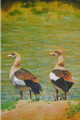 Egyptian Geese on the Limpopo River, Botswana