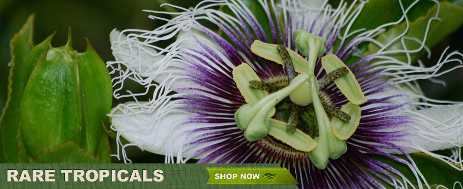 Rare Tropicals - Shop Now