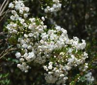 Luma apiculata - Luma