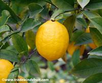 Citrus x Meyeri - Meyer Lemon