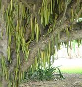 Parmentiera cereifera - Candle Stick Tree