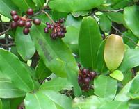 Polyalthia suberosa -