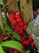 Syzygium versteegii -