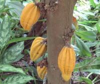 Herrania umbratica - Monkey Cacao