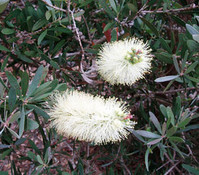 Callistemon pallidus - Lemon Bottlebrush