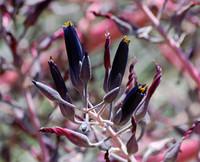 Puya coerulea violacea - Black Sapphire Tower