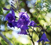 Jacaranda cuspidifolia - Jacaranda