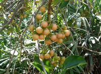 Cordia obliqua - Clammy Cherry