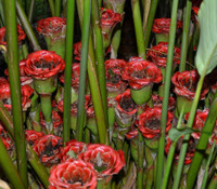 Etlingera venusta - Malay Rose Torch Ginger