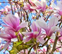 Magnolia soulangiana - Saucer Magnolia