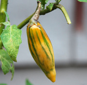 Striped Togo Eggplant