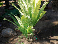 Dioon spinulosum -