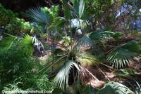 Brahea dulcis - Sombrero Palm