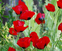 Papaver dubium - Greek Poppy