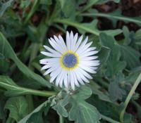 Arctotis grandis - Blue-Eyed African Daisy