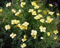 Eschscholzia caespitosa - Tufted Poppy