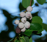 Azara integrifolia -