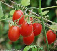Sweet Olive Tomato